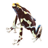 Poison dart frog beautiful pet amphibian Royalty Free Stock Photo