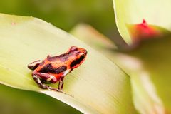 Poison dart frog. On bromelia in tropical rain forest of Panama royalty free stock photography