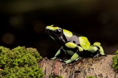 Poison dart frog,Dendrobates auratus. From the Amazon rain forest in Colombia.  A macro of a poisonous amphibian in the rainforest. Toxic animal royalty free stock photography
