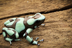 Poison dart frog Dendrobates auratus. Poison dart frog, Dendrobates auratus Pena Blanca. Poisonous rain forest animal from Panama Stock Image