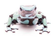 Poison dart frog Dendrobates auratus Pena Blanca Royalty Free Stock Photography