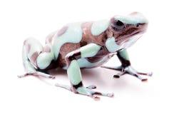 Poison dart frog, Dendrobates auratus Pena Blanca Stock Images