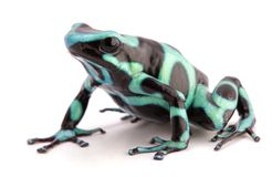 Poison dart frog, Dendrobates auratus. A poisonous animal from the tropical rain forest of Panama and Costa Rica isolated on white royalty free stock photo