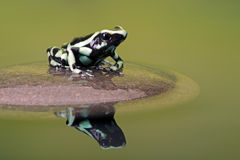 Poison Dart Frog (Dendrobates Auratus). Poison Dart Frog reflected in water Royalty Free Stock Photo