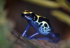 Poison dart frog - Dendrobates tinctorius. Dendrobates tinctorius - Dyeing Dart frog Royalty Free Stock Photos