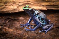 Poison dart frog Dendrobates tinctorius Royalty Free Stock Photos