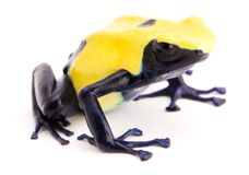Poison dart frog, Dendrobates tinctorius, citronella. Dendrobates tinctorius, citronella. A yellow and blue poison dart frog from the Amazon rain forest of royalty free stock image