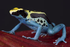 Poison dart frog / Dendrobates tinctorius. The dyeing dart frog is one of the biggest dart frog species, attaining 5 cm. These frogs display a huge variety in stock photography
