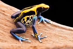 Poison dart frog dendrobates tinctorius Stock Images