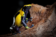 Poison dart frog exotic pet in terrarium. Poison dart frog with bright blue yellow colors a real jewel of the amazon rain forest. Dendrobates tinctorius. Exotic royalty free stock image