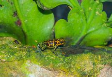 Poison Dart Frog royalty free stock photography