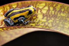 Poison dart frog from the highlands of the Amazon Rain forest stock photography