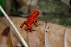 Poison Dart Frog on a Leaf Stock Images