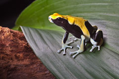 Poison dart frog on leaf in amazon rain forest. Poison dart frog on leaf in south american amazon rain forest. Yellow back dendrobates tinctorius. Beautiful stock image