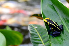 Poison dart frog on a leaf. royalty free stock photography