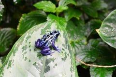 Poison dart frog on a leaf. stock photos