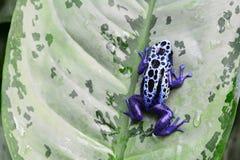 Poison dart frog on a leaf. stock images