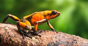 Poison dart frog Oophaga histrionica crawling in  the tropical rain forest of Colombia stock photo