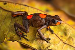 Poison dart frog, Oophaga histrionica. A small poisonous animal from the rain forest of Colombia royalty free stock photos