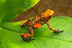 Poison dart frog, Oophaga histrionica. A small poisonous animal from the rain forest of Colombia royalty free stock photo