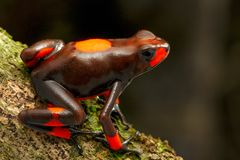 Poison dart frog, Oophaga histrionica. A small poisonous animal from the rain forest of Colombia royalty free stock images