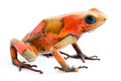 Poison dart frog, Oophaga histrionica stock images
