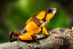 Poison dart frog, Oophaga histrionica. A small poisonous animal from the rain forest of Colombia. depicting bright yellow warning colors royalty free stock photos