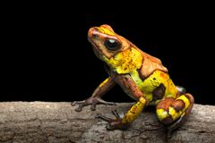 Poison dart frog, Oophaga histrionica. A small poisonous animal from the rain forest of Colombia royalty free stock image