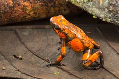 Poison dart frog, Oophaga histrionica royalty free stock photography