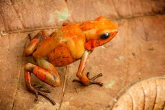 Poison dart frog Oophaga histrionica from the tropical rain forest of Colombia stock photography