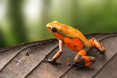 Poison dart frog Oophaga histrionica from the tropical rain forest of Colombia stock photos