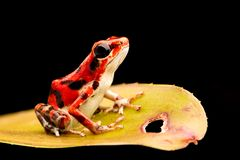Poison dart frog Oophaga pumilio. Poison dart frog, Oophaga pumilio. A red strawberry dartfrog from the rain forest of Bocas del Toro, Panama royalty free stock photo