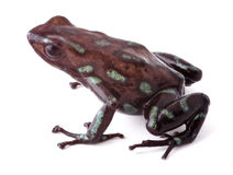 Poison dart frog Panama Royalty Free Stock Photography