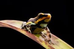 Poison dart frog Peru rain forest Stock Photos