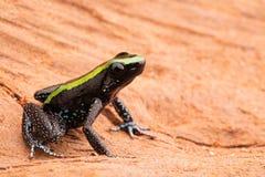 Poison dart frog phyllobates aurotaenia Stock Photography
