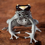 Poison dart frog poisonous animal stock images