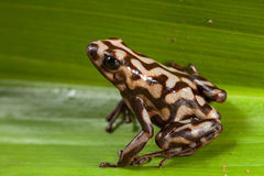 Poison dart frog poisonous animal Stock Photos