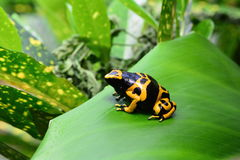Poison dart frog portrait. A bumble bee poison dart frog sits on a plant in the jungle Stock Photography