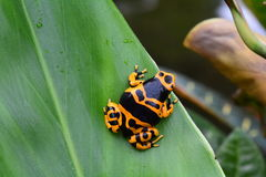 Poison dart frog portrait. A bumble bee poison dart frog sits on a plant in the jungle Stock Photos