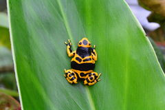 Poison dart frog portrait. A bumble bee poison dart frog sits on a plant in the jungle Royalty Free Stock Image