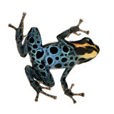 Poison Dart Frog - ranitomeya amazonica or Dendrob. Ates amazonicus in front of a white background Stock Images