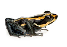 Poison Dart Frog - ranitomeya amazonica or Dendrob. Ates amazonicus in front of a white background Stock Photo