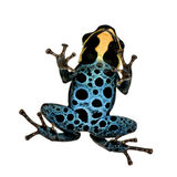 Poison Dart Frog - ranitomeya amazonica or Dendrob Royalty Free Stock Photo