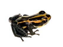 Poison Dart Frog - ranitomeya amazonica or Dendrob Stock Photo
