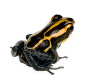 Poison Dart Frog - ranitomeya amazonica or Dendrob Stock Photography