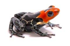 Poison dart frog, Ranitomeya fantastica royalty free stock photo