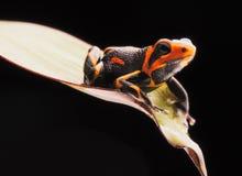 Poison dart frog Ranitomeya imitator Stock Photos