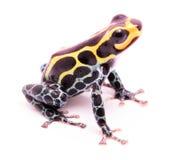 Poison dart frog Ranitomeya imitator baja huallaga Royalty Free Stock Photos