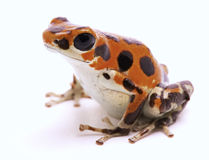 Poison dart frog from Red Frog Beach Stock Photography