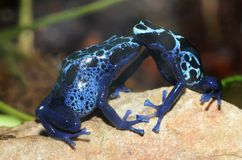 Poison dart frog sweethearts Stock Photography